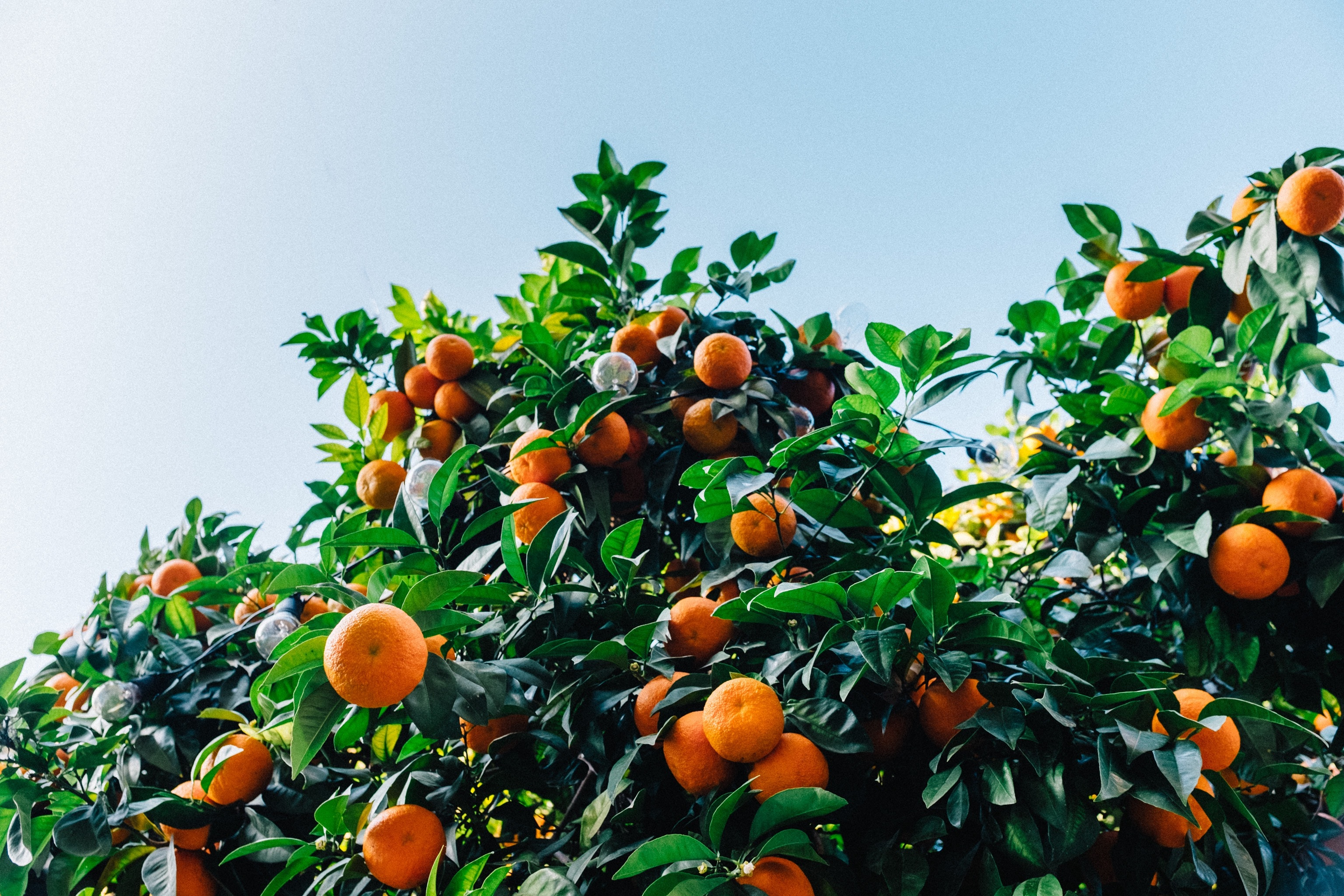 Family Favorites: How to Grow Mandarin Oranges