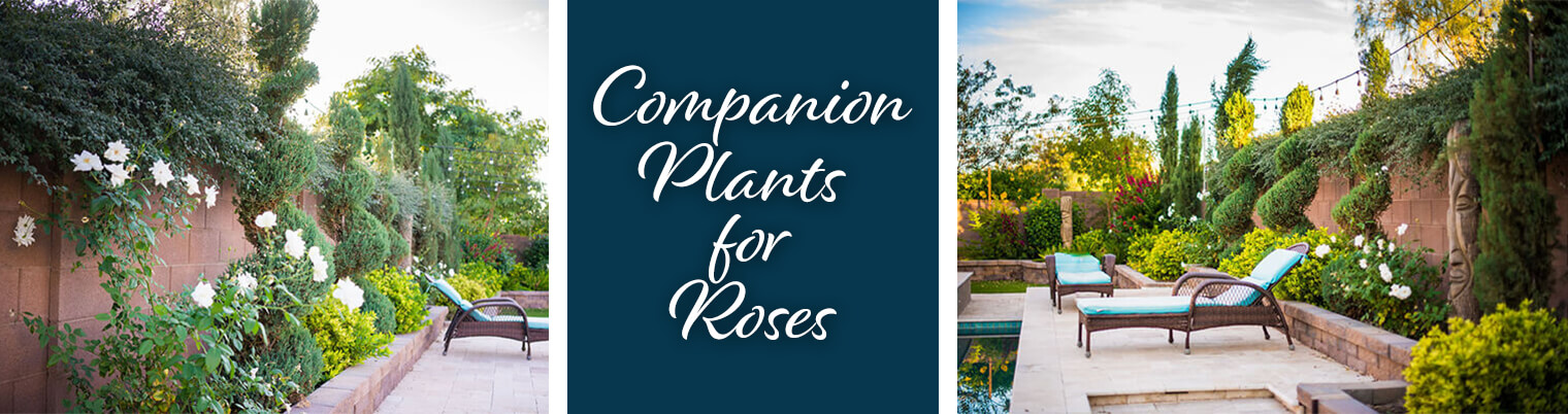 How To Grow Roses And Companion Plants Together What You Need To Know