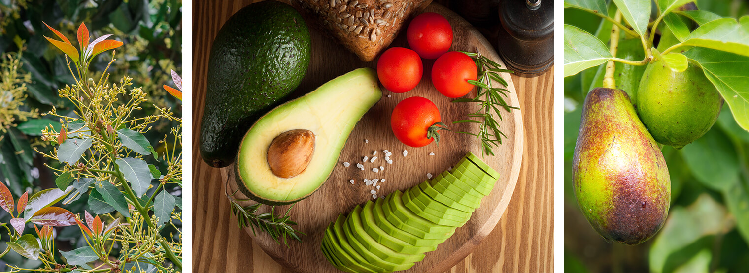 how to grow avocado in arizona