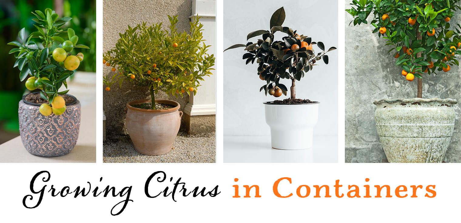 How To Grow A Citrus Tree In Small Container Arizona