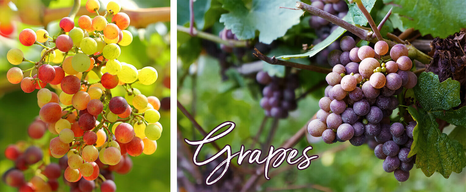 How To Grow Grapes In Your Garden | SummerWinds Nursery, AZ