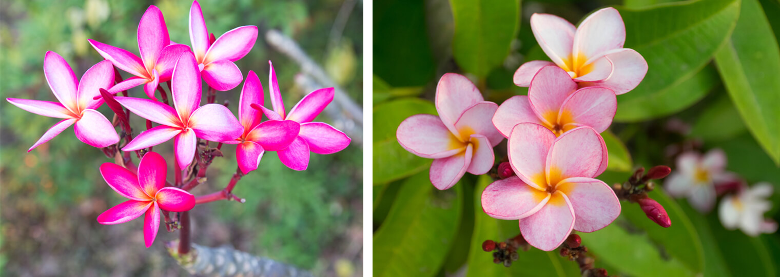 How To Grow Care For Plumeria Arizona Summerwinds