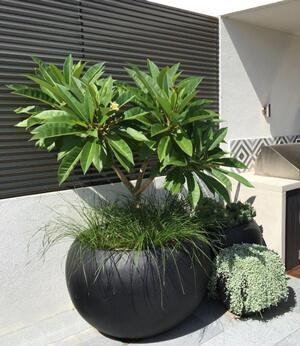 Plumeria in vaso sul patio