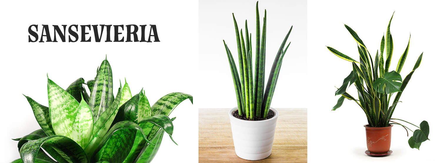 The Snake Plant S History