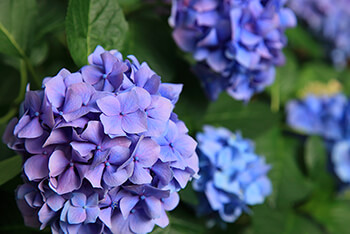 Acidic Gardening with Hydrangeas