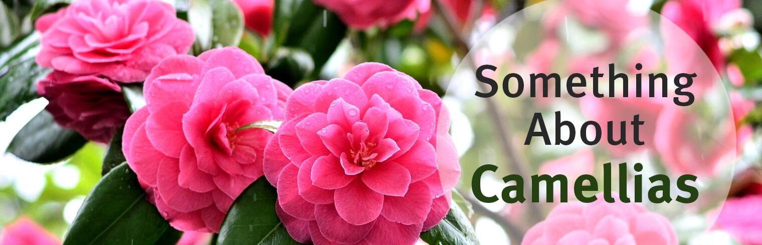 Something about camellias - Camelia fotos ...