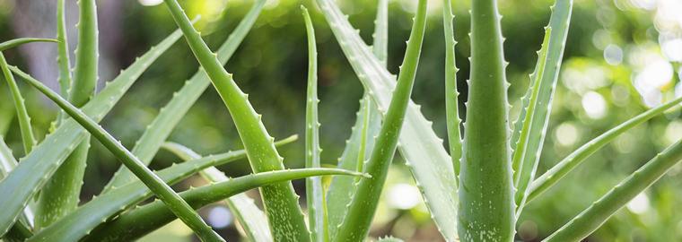 The Many Wonderful Uses Of Aloe Vera Summerwinds Nursery Az