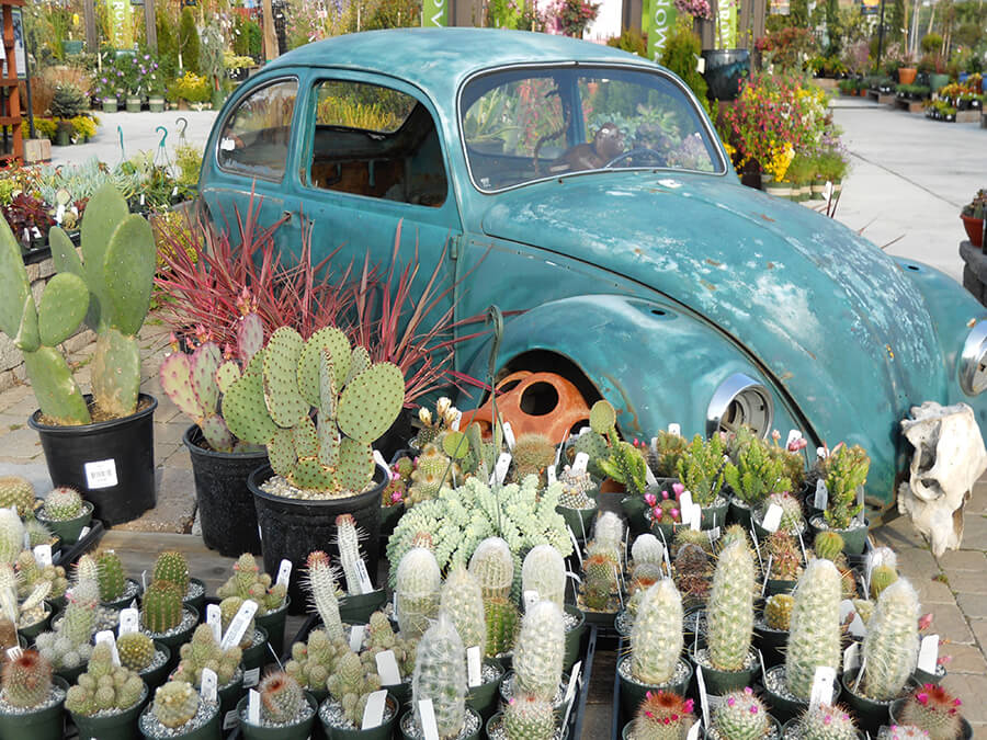 Vw Beetle And Cacti