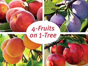 Bare Root Fruit Trees Tree Types More Summerwinds