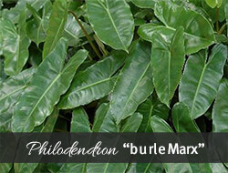 Burle Marx Philodendron